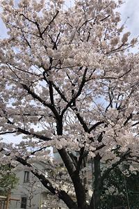 幼稚園の桜